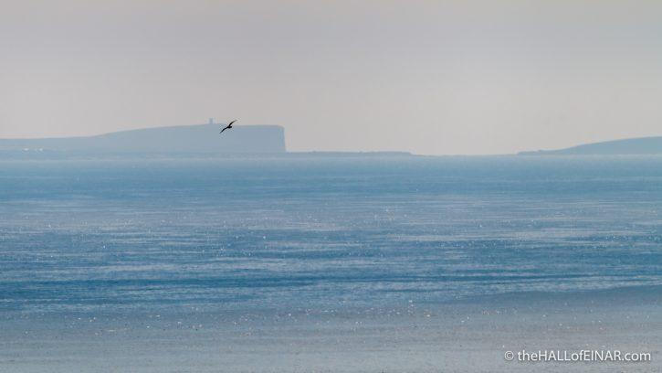 Arctic Skua - The Hall of Einar - photograph (c) David Bailey (not the)