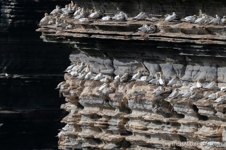 Gannets at Noup - The Hall of Einar - photograph (c) David Bailey (not the)